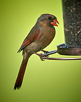 Female Northern Cardinal. Image taken with a Nikon D5 camera and 600 mm f/4 VR lens.