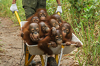 A keeper at IAR transports a group of juvenile orangutans by wheelbarrow to a patch of forest where they will learn skills for the wild <br /> <br /> International Animal Rescue (IAR)<br /> Ketapang<br /> West Kalimantan Province<br /> Island of Borneo<br /> Indonesia