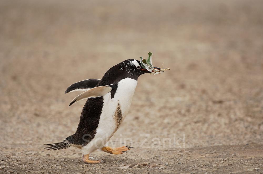 Das Nistmaterial wird von den Eselspinguinen  (Pygoscelis papua) in der Umgebung der Brutkolonie gesammelt und zum Nest getragen. Saunders Island, Südatlantik, Falklandinseln | Leaves are collected by the Gentoo Penguins (Pygoscelis papua) and serve as material for the nest.