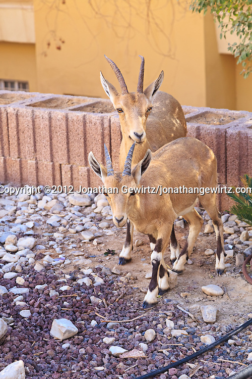 A pair of Nubian ibexes (Capra nubiana) next to a building near the Ein Gedi nature preserve. WATERMARKS WILL NOT APPEAR ON PRINTS OR LICENSED IMAGES.