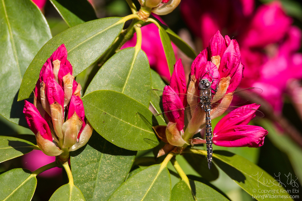A California darner (Rhionaeschna californica formerly Aeshna californica) rests on a blooming rhododendron in Snohomish County, Washington. The California darner is a widespread dragonfly, found from British Columbia, Canada to Baja, Mexico.