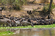 Common Plains Zebra (Grant's) and Buffalodrinking,  Grumeti, Tanzania