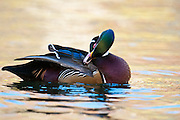 Wood Duck, Aix sponsa, male, preening, Lake County, Ohio