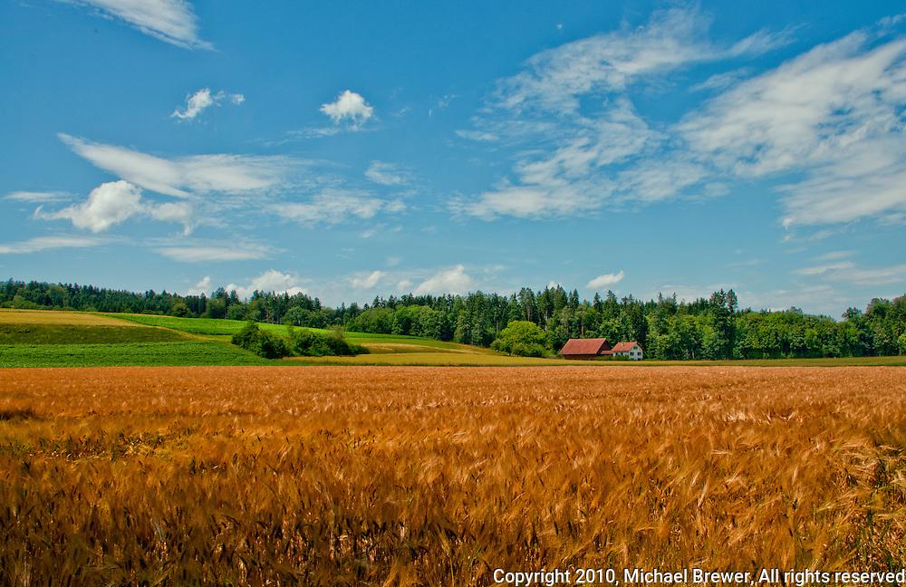 Lovely landscape view of a field of golden summer grains near Wohlen, Aargau, Switzerland.
