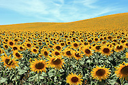 Gentle rolling hills of sunflowers delight the eye to the horizon near Arcos, Spain
