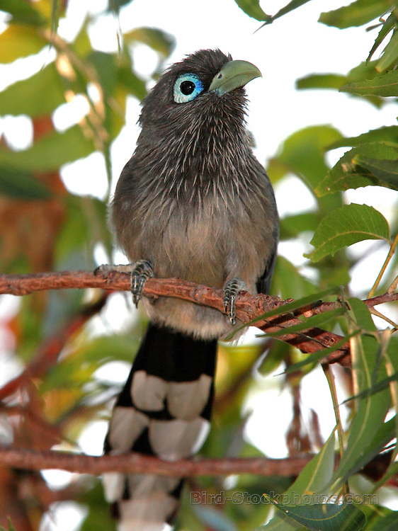 Blue-faced Malkoha, Phaenicophaeus viridirostris, near Yala National Park, Sri Lanka by Adam Riley