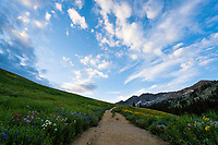 A dirt trail leading through the wildflowers of Albion Basin in Utah's Little Cottonwood Canyon.