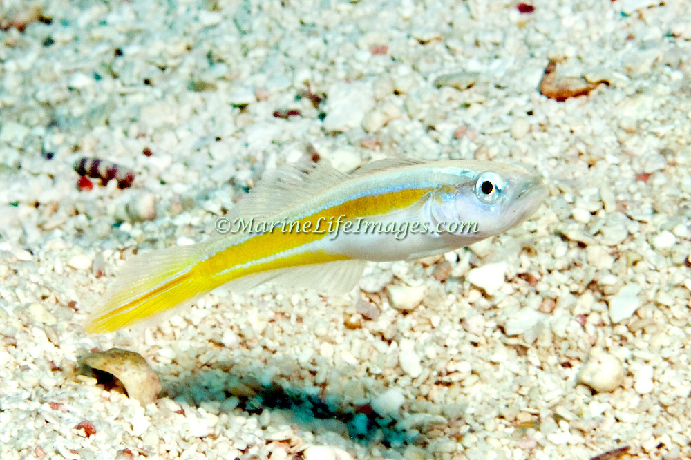 Seminole Goby hoover above or near their sand burrows, usually in pairs in Tropical West Atlantic; picture taken Key Largo, FL.