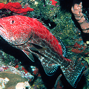 Yellowfin Grouper, red phase, inhabit reefs in Tropical West Atlantic; picture taken Little Cayman.