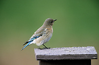 Mountain Bluebird (Sialia currucoides) female on nest box, Near Calgary, Alberta, Canada - Photo: Peter Llewellyn