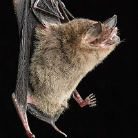 Common Mustached Bat, Pteronotus parnellii, in Cocobolo Nature Reserve Panama