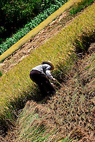 Harvesting is usually carried out by hand in the rice fields that carpet the countryside surrounding Yangshuo and Guilin.