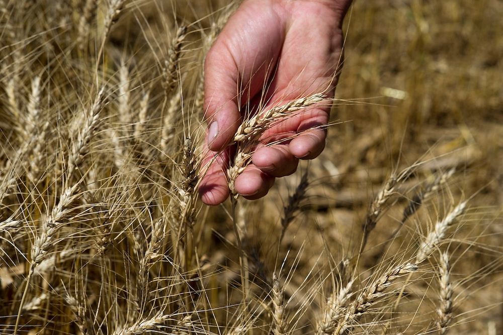 Field of wheat and hand