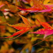A closer look at the many beautiful colors coming out on this maple tree in late autumn.