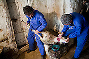 Miguel Angel Martinez Cerrada and his brother Paco slaughter a sheep for Easter at their family ranch in the tiny village of Zarzuela de Jadraque, Spain. (From the book What I Eat: Around the World in 80 Diets.)  The sheep will be skinned, gutted, and hung in the cold house, and the meat will be eaten at Easter, when the extended family comes for dinner.