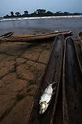 A Goliath tigerfish lies in a pirogue after being caught in the rapids of Wagenia Falls, in Kisangani, DR Congo.