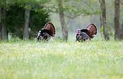 Wild Eastern Tom Turkeys.<br /> -Cades Cove Great Smokey Mountains National Park TN<br /> U.S.A