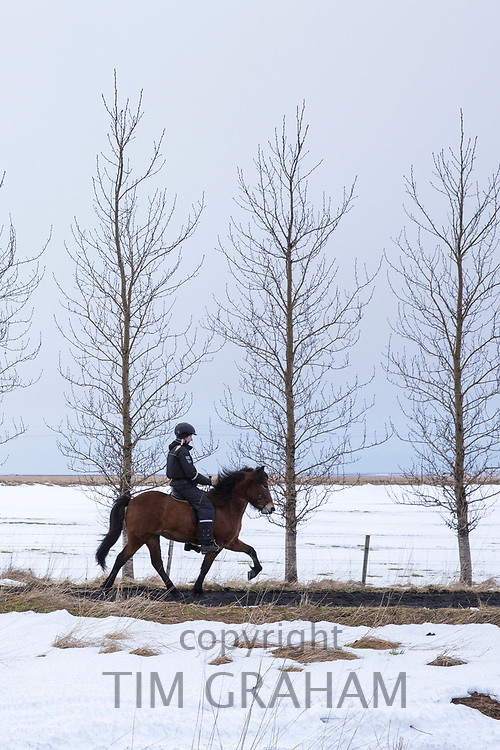 Woman riding icelandic pony doing the traditional tolt gait - tolting - in Hella in South Iceland