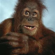 Orangutan Smile