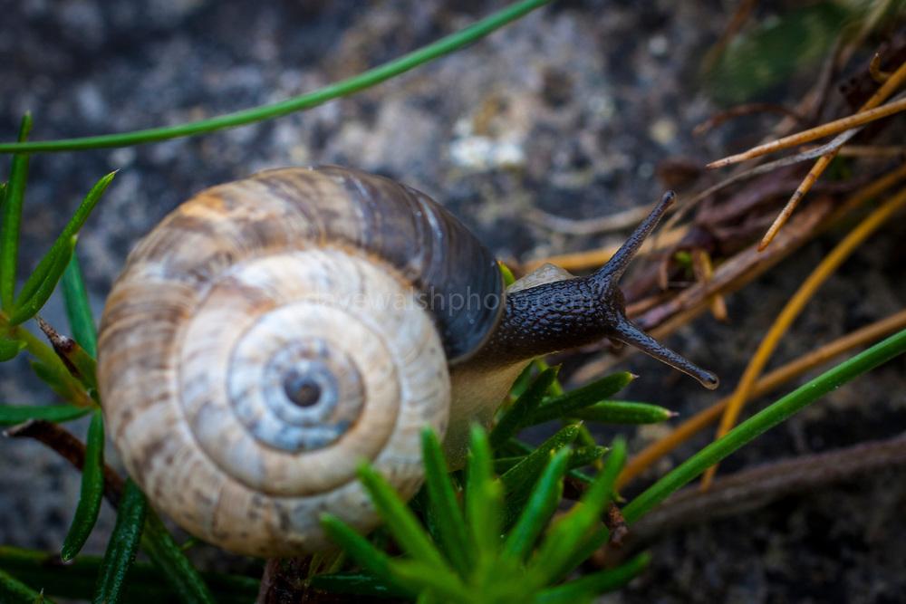 Helicella itala, heath snail, Inishmore, Aran Islands