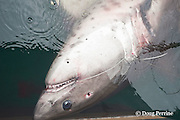 dead salmon shark, Lamna ditropis, with bullet hole in head from bang stick, alongside of fishing boat, Prince William Sound, Alaska, U.S.A.