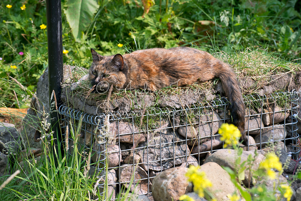 'Snoopy' the cat lying on a turfed gabion seat in Euan Sutherland's garden