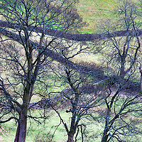 Winter Trees and Dry Stone Walls at Settle