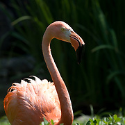 Flamingo in Zoo. Los Angeles, CA. USA