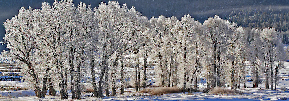 On Christmas morning, extremely low temperatures and high humidity cause the formation of hoarfrost on the old cottonwood trees in Lamar Valley, causing them to look flocked for the holidays.
