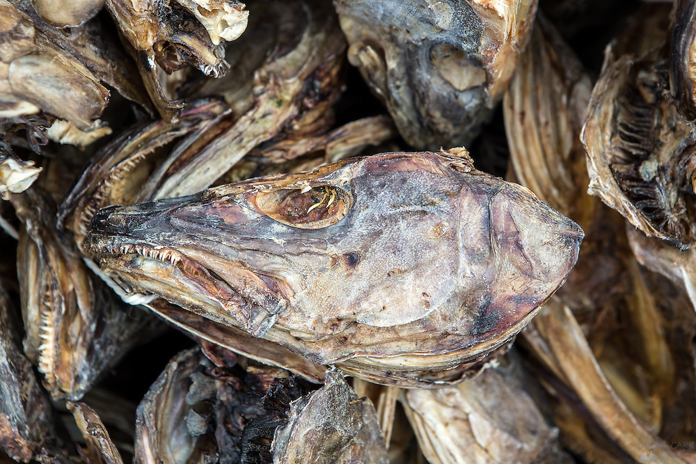 Images from the Lofoten Islands in arctic Norway at midsummer. This is one of the many cod heads that are dried, prior to being exported to Nigeria