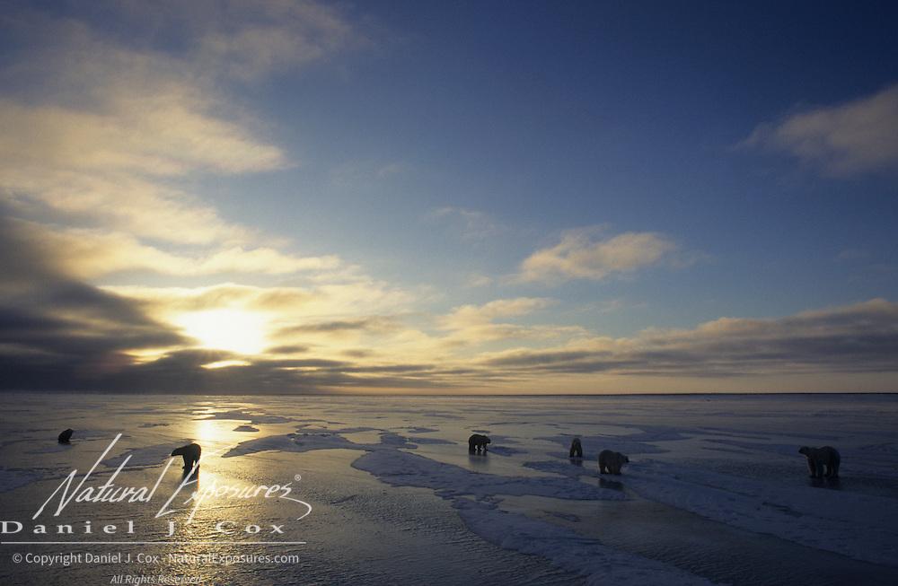 Polar Bear (Ursus maritimus) on the frozen ice during sunset in Churchill, Manitoba, Canada.
