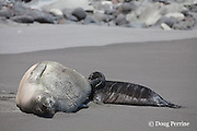 Hawaiian monk seal, Monachus schauinslandi ( Critically Endangered species, endemic to Hawaiian Islands  ), nursing two week old pup, Waimanu Valley, Hawaii Island ( Pacific Ocean )
