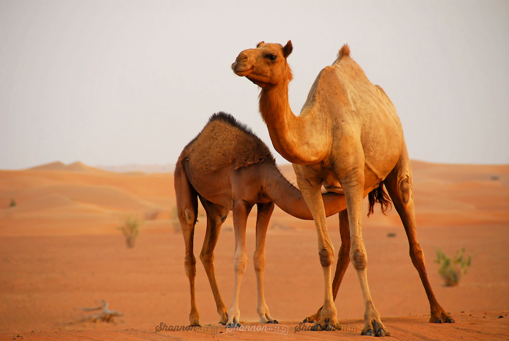 A Dromedary (or Arabian) Camel (Camelus dromedarius) mother and calf take a break in the vast Dubai Desert Conservation Reserve, United Arab Emirates.