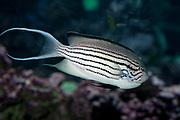 Lamarck's Angelfish, Genicanthus lamarck.