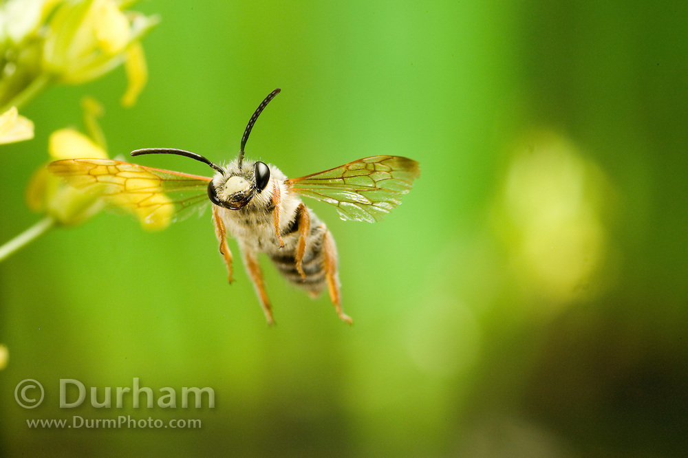 A small leafcutter bee (Megachile sp.) in flight. Prairie habitat, NE Oregon.