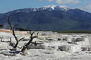 Dead Trees on Travertine Terraces at Mammoth Hot Springs, Yellowstone National Park, Wyoming, USA