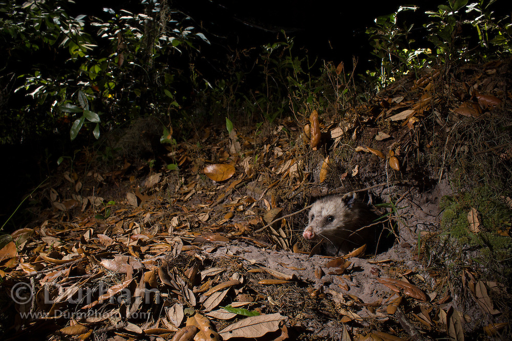 A Virginia opossum (Didelphis virginiana) emerging from a den at night in Timucuan Ecologic and Historical Preserve, Florida.
