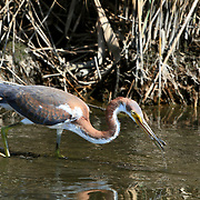 A Tricolored Heron, Egretta tricolor, with a fish in its bill  in a saltmarsh. Richard DeKorte Park, Lyndhurst, New Jersey, USA
