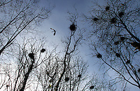 A great blue heron flies above the nests in a rookery also called heronry in Tacoma, March 23, 2011.(Janet Jensen/Staff photographer)