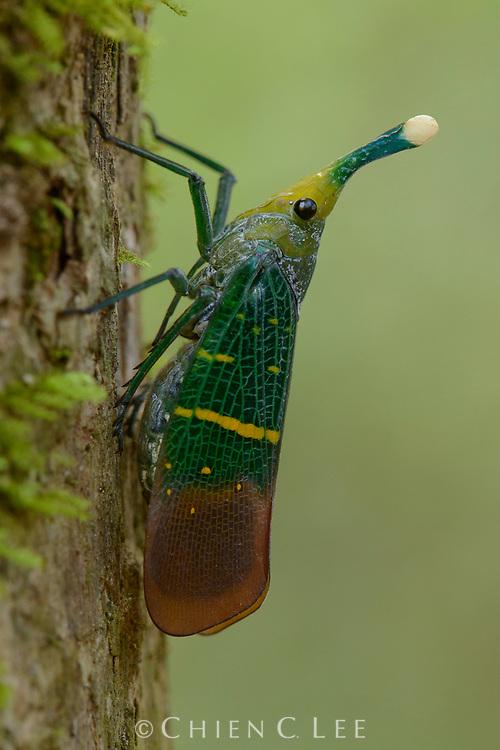 Lantern bug (Pyrops transversolineatus)