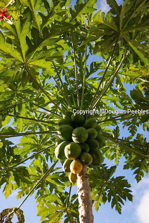 Papaya tree