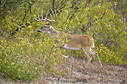 South Texas whitetail buck during autumn rut