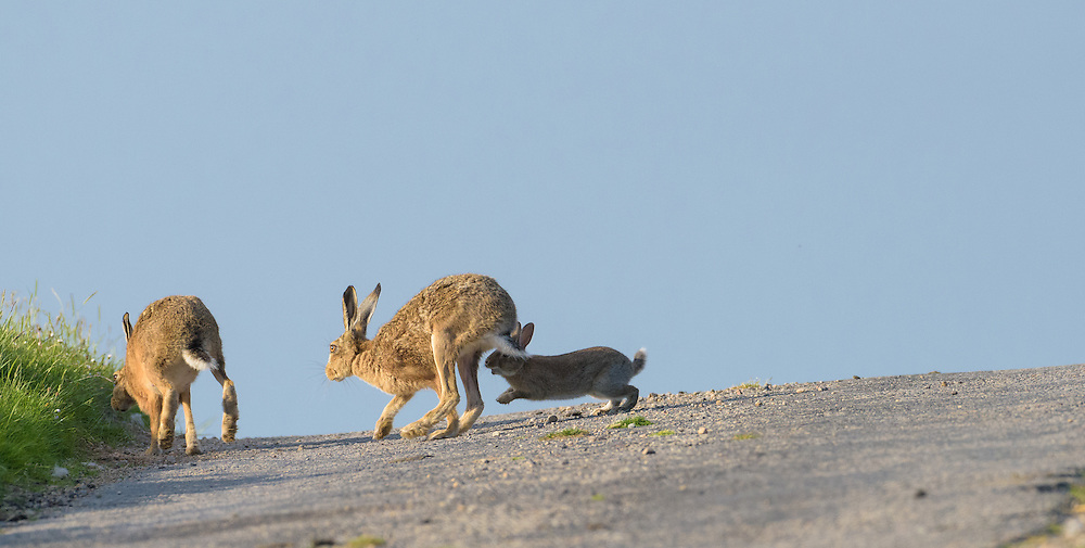 Young rabbit running, after hares,  Islay, Scotland