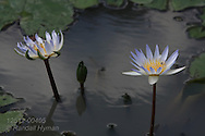 White lily flowers blossom in pond at Tower Grove Park in St. Louis, Missouri.