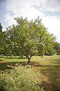 Indian Cheery Tree for Oklahoma Proven