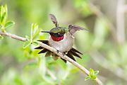 Ruby-throated hummingbird, Archilochus colubris, male, Iosco County, Michigan