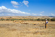 Israel, Negev, Bedouin shepherd with his herd of sheep and goats
