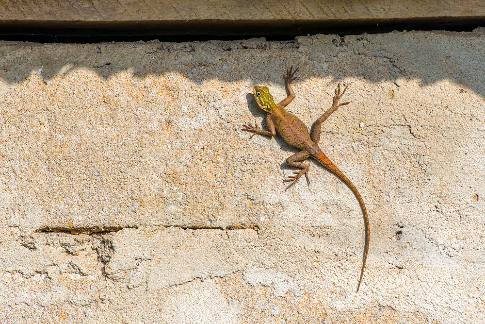 A rainbow Agama Lizard (Agama agama) hangs on a cement wall.  Ganta Liberia