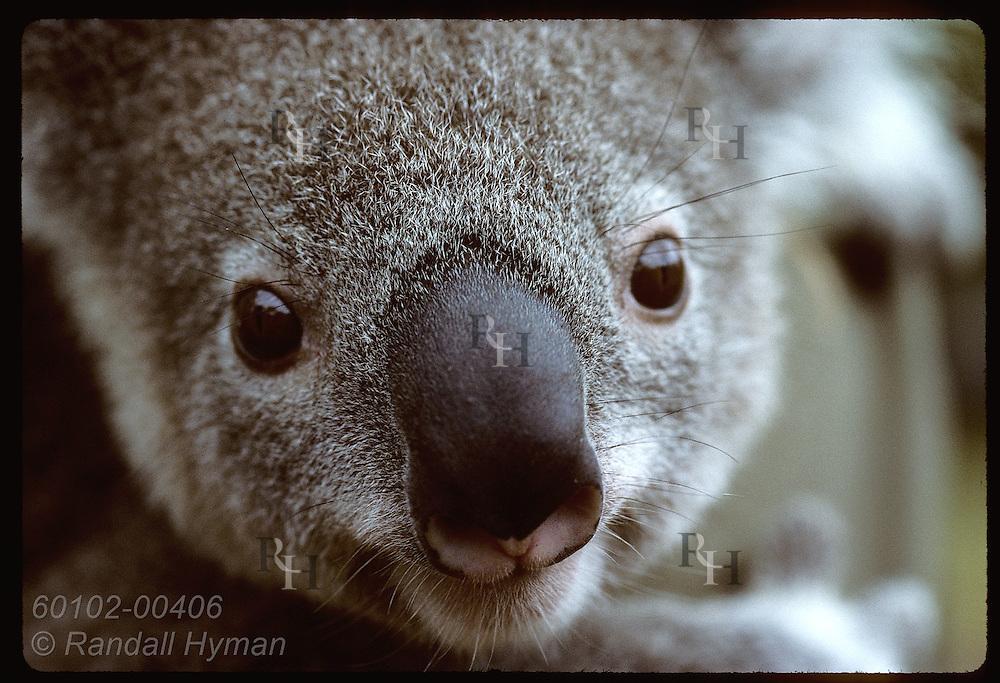 Year-old koala gazes into camera as it is held by vet nurse at Univsty of Queensland; Brisbane. Australia
