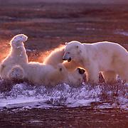 Polar bears (Ursus maritimus) wrestling in alpenglow light. Hudson Bay, Canada